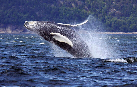 See whales on the St. Lawrence River