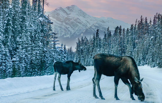 Discovering the wildlife of Jasper National Park