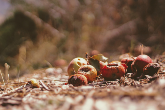 Food waste - rotting apples