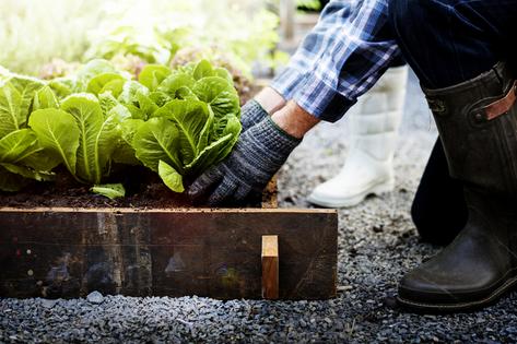 Planting lettuce in the backyard