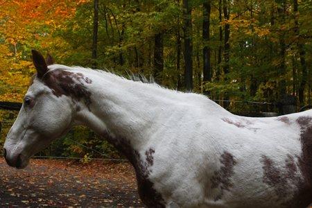 Paint horse on the farm