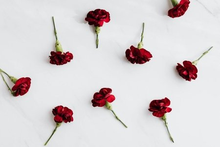 Red carnations with cut stems on white background