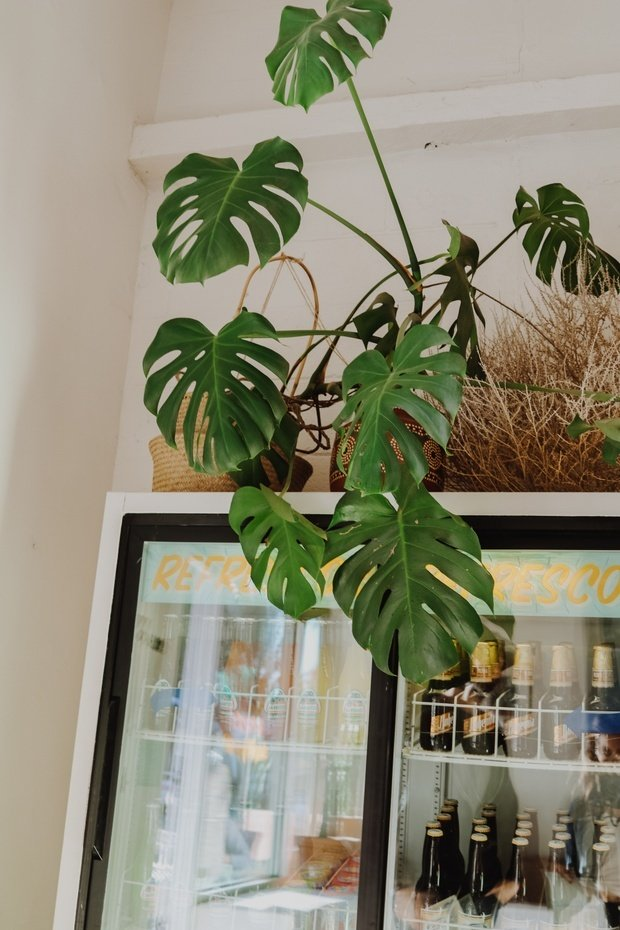 Monstera plant on top of soda machine