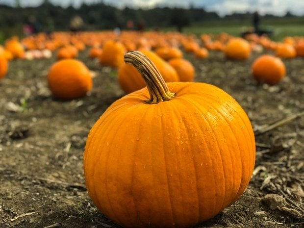 orange pumpkin on field