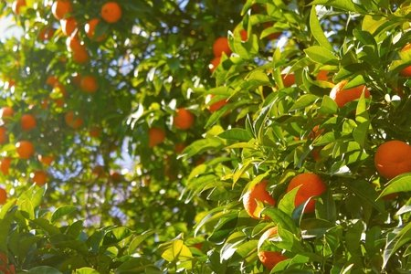 orange tree under a sunny sky