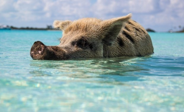 crystal blue ocean with baby pig swimming