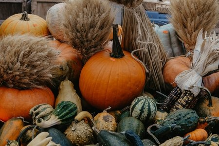 pumpkin patch with corn and gourds