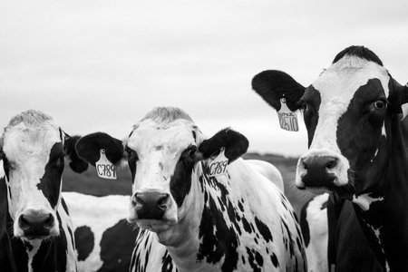 grayscale of three cows