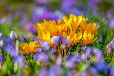 photo of yellow crocus flower blossoms