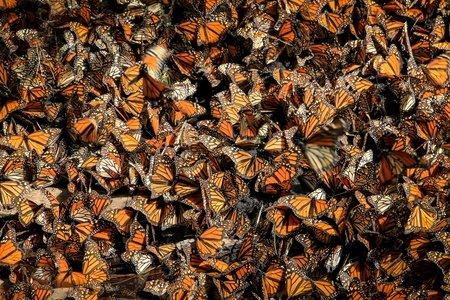 Mexican Monarch butterflies