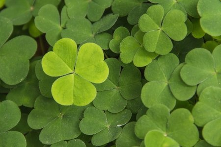 a cluster of shamrocks