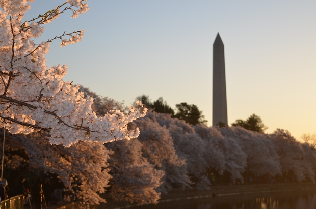 cherry blossom trees with the Washington Monument in the background