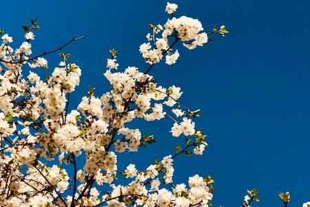 white flowered tree against vivid blue sky