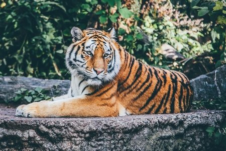 tiger lying down on grey rock
