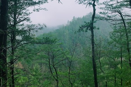 Foggy green trees in the mountains