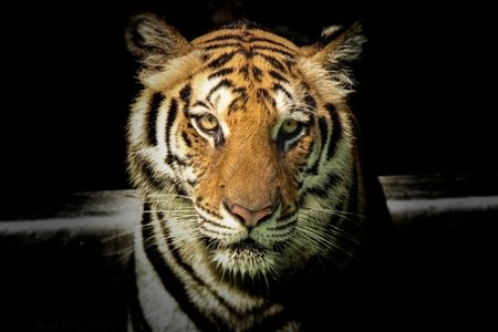 Tiger in the dark