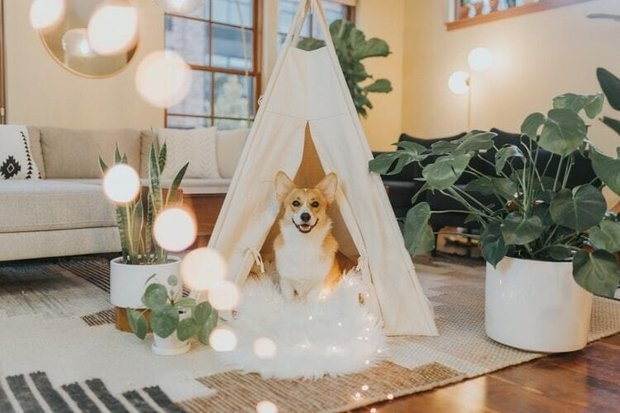 corgi dog in a white tent with lights