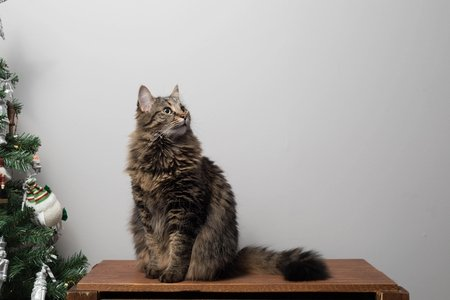 fluffy cat cooper